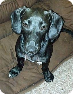 Dachshund Mix Dog for adoption in Yorba Linda, California - Bella Luna