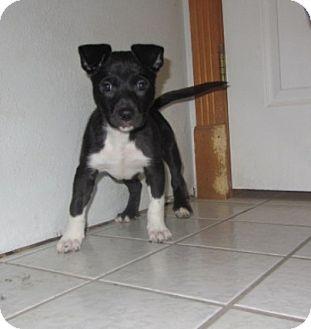 Terrier (Unknown Type, Medium) Mix Puppy for adoption in Ridgway, Colorado - Avalanch