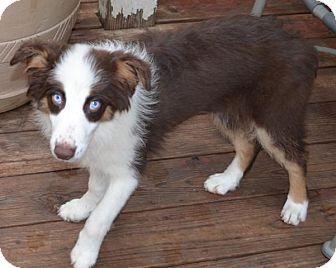 Anatolian Shepherd Dog for adoption in Overland Park, Kansas - Tessa