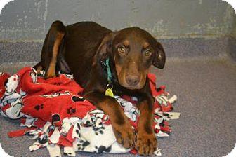 Doberman Pinscher Mix Dog for adoption in Edwardsville, Illinois - Autumn