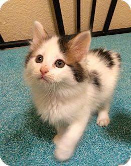 Domestic Mediumhair Kitten for adoption in Plano, Texas - PEETA - FLUFFY PLAYBOY!!!