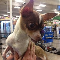 Chihuahua/Rat Terrier Mix Dog for adoption in Fresno, California - Reed