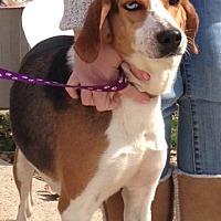 Treeing Walker Coonhound/Catahoula Leopard Dog Mix Dog for adoption in Baton Rouge, Louisiana - Malibu