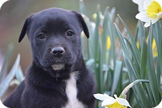 Labrador Retriever Mix Puppy for adoption in Spring City, Pennsylvania - Raven