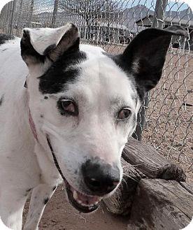 Catahoula Leopard Dog Mix Dog for adoption in Las Cruces, New Mexico - Haleiha Kanani