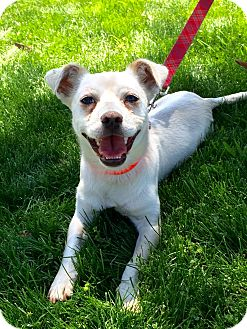 Terrier (Unknown Type, Small)/Chihuahua Mix Dog for adoption in Mission Viejo, California - Prince