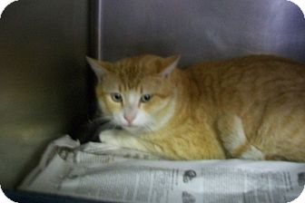 Domestic Shorthair Cat for adoption in Copperas Cove, Texas - No Name