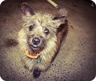 Terrier (Unknown Type, Medium) Dog for adoption in Eugene, Oregon - Scottie