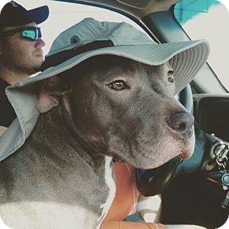 American Pit Bull Terrier Dog for adoption in Houston, Texas - Blu