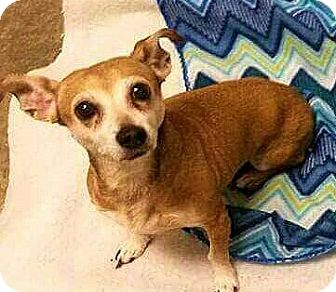 Chihuahua/Dachshund Mix Dog for adoption in Andalusia, Pennsylvania - Prudence