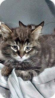 Domestic Shorthair Kitten for adoption in THORNHILL, Ontario - Squeakers