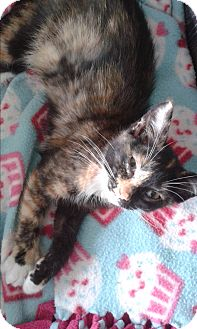 Domestic Shorthair Kitten for adoption in South Windsor, Connecticut - Macy