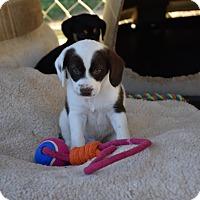 Adopt A Pet :: Cagney - South Dennis, MA