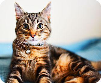 Domestic Shorthair Cat for adoption in Xenia, Ohio - Zack