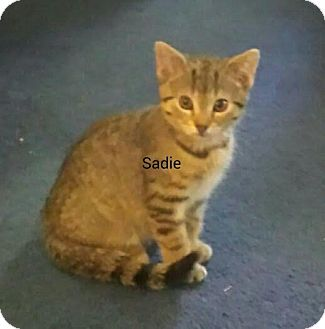 Domestic Shorthair Kitten for adoption in Waldorf, Maryland - Sadie