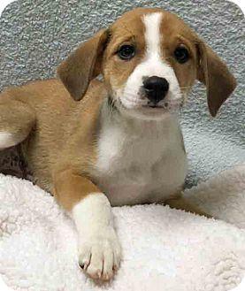 Labrador Retriever Mix Puppy for adoption in Gahanna, Ohio - ADOPTED!!!   Ares