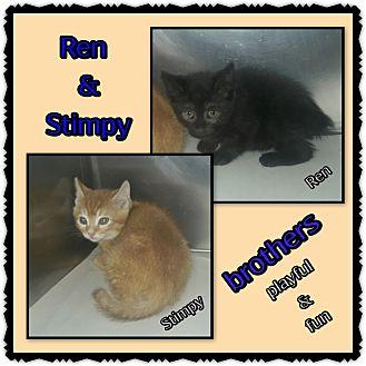 Domestic Shorthair Kitten for adoption in Richmond, California - Ren