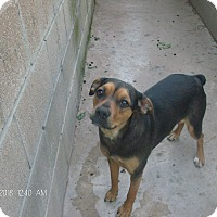 Adopt A Pet :: SNICKERS - KELLYVILLE, OK