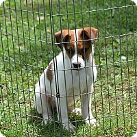 Adopt A Pet :: Digger - Springfield, VA