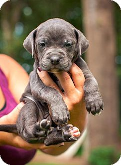 """Pit Bull Terrier Puppy for adoption in Raleigh, North Carolina - Teena """"Teena Marie"""""""