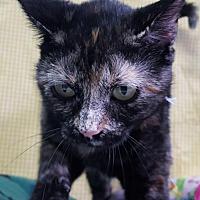 Adopt A Pet :: Whisper 27226 - Prattville, AL