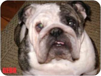 English Bulldog Dog for adoption in Winder, Georgia - Sophie