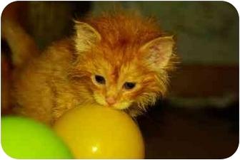 Domestic Longhair Kitten for adoption in Witter, Arkansas - Miracle