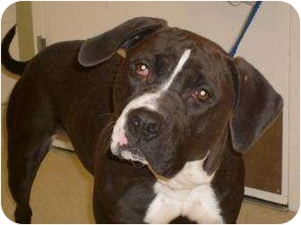 American Pit Bull Terrier Dog for adoption in Ponderay, Idaho - Alexis