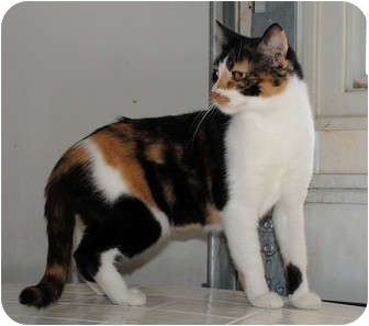 Calico Cat for adoption in Palmdale, California - Cally