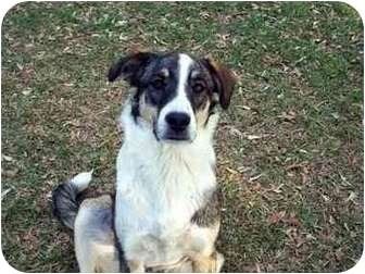 Collie/German Shepherd Dog Mix Dog for adoption in Winnsboro, South Carolina - Mister Red