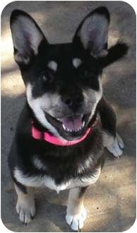 Siberian Husky Mix Puppy for adoption in Redding, California - Maci