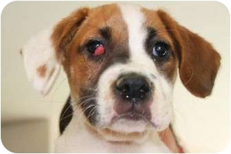 Boxer/Beagle Mix Puppy for adoption in Bellflower, California - Bayer