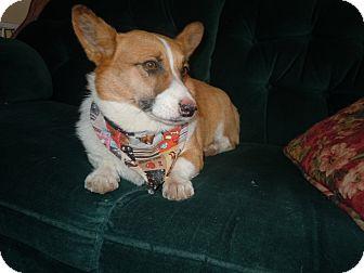 Pembroke Welsh Corgi Dog for adoption in Riverside, California - Butch