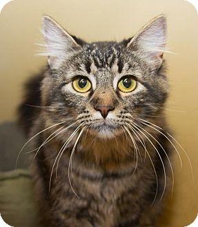 Maine Coon Cat for adoption in Irvine, California - Cosette