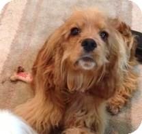 Cocker Spaniel Puppy for adoption in Sacramento, California - Gatsby