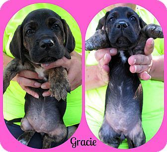 Black and Tan Coonhound/Shepherd (Unknown Type) Mix Puppy for adoption in Wallingford Area, Connecticut - Gracie