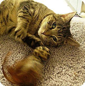 Domestic Shorthair Cat for adoption in Chandler, Arizona - Jessie