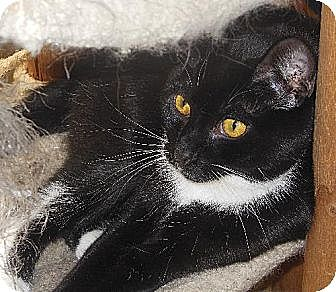 Domestic Shorthair Cat for adoption in Richmond, Virginia - Mozart