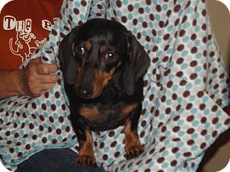 Dachshund Dog for adoption in Marshall, Texas - Bailey