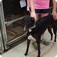 Adopt A Pet :: Serious Serina - Knoxville, TN