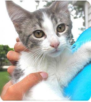 Domestic Shorthair Kitten for adoption in Hillside, Illinois - Nicolas