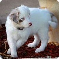 Adopt A Pet :: Cotton - Austin, TX