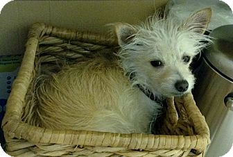 Jack Russell Terrier Mix Dog for adoption in Austin, Texas - Princess Peanut