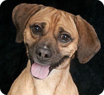 Pug/Beagle Mix Dog for adoption in Chicago, Illinois - Henry