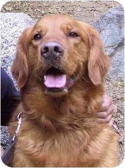Golden Retriever Dog for adoption in El Segundo, California - Finn