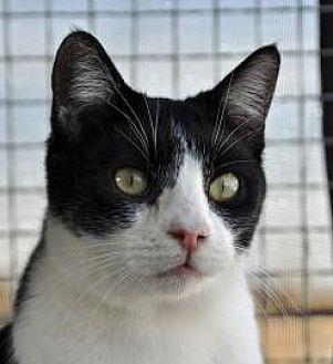 Domestic Shorthair Cat for adoption in Alamogordo, New Mexico - PEPSI