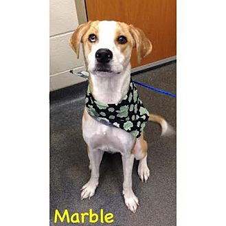 Hound (Unknown Type)/Husky Mix Dog for adoption in Cleveland, Ohio - Marble