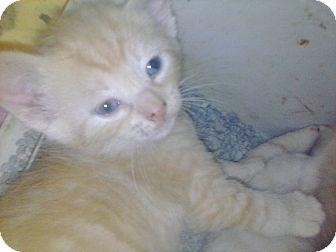 Domestic Shorthair Kitten for adoption in Newark, Delaware - Butterscotch