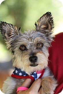 Yorkie, Yorkshire Terrier/Schnauzer (Miniature) Mix Dog for adoption in Grants Pass, Oregon - Sonia