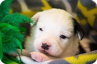 Labrador Retriever/Border Collie Mix Puppy for adoption in Seneca, South Carolina - Nemo - $250